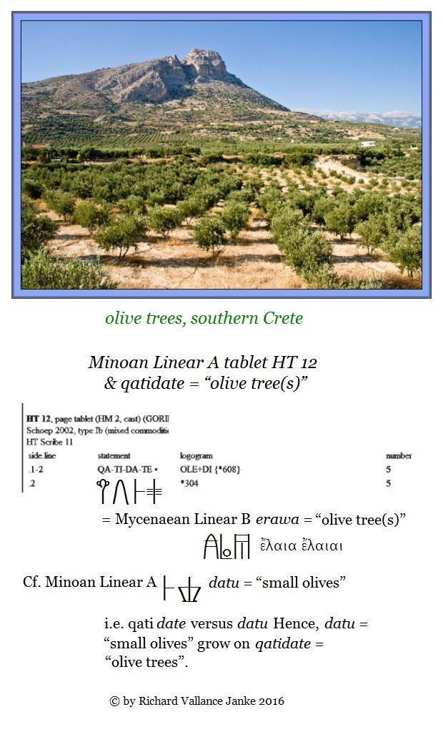 HT 12 qatidate olive tree