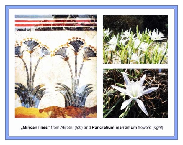 Minoan Lilies Akrotiri and pancratium maritmum