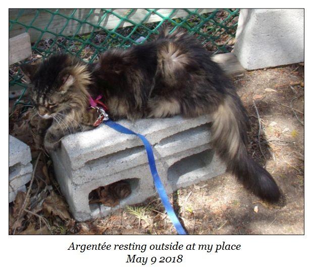 Argentee resting