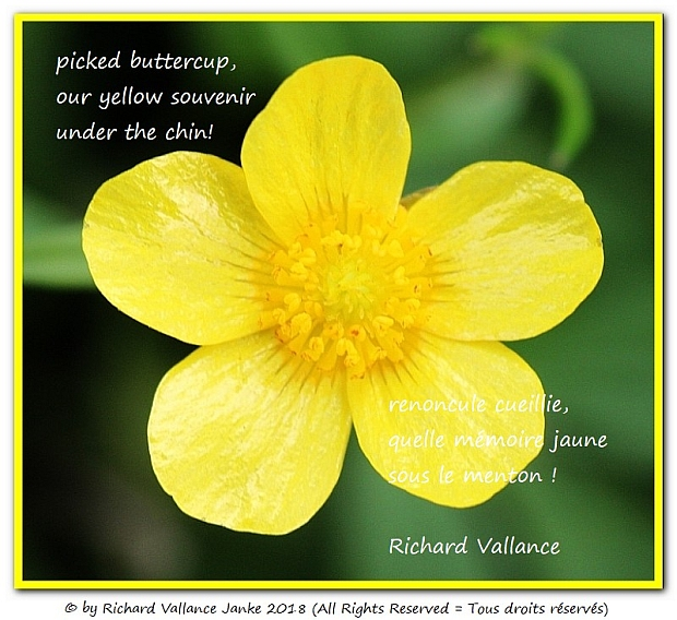 buttercup haiku 620