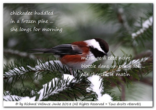 chickadee huddled in a frozen pine620
