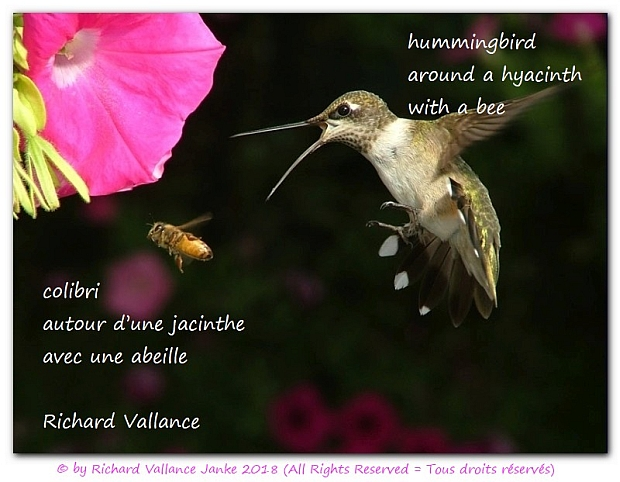 hummingbird bee haiku620