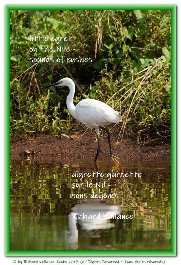 little egret rushes haiku
