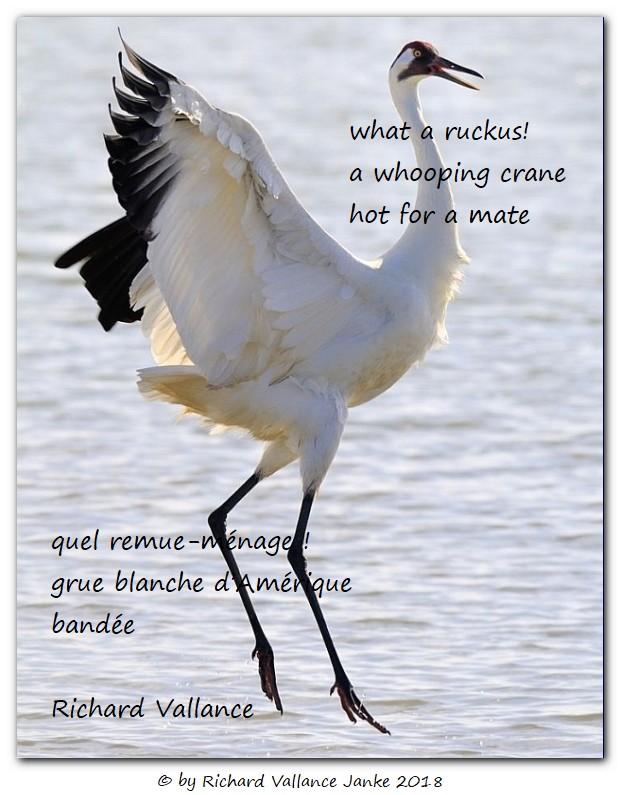 whooping crane haiku