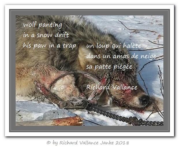wolf trapped haiku