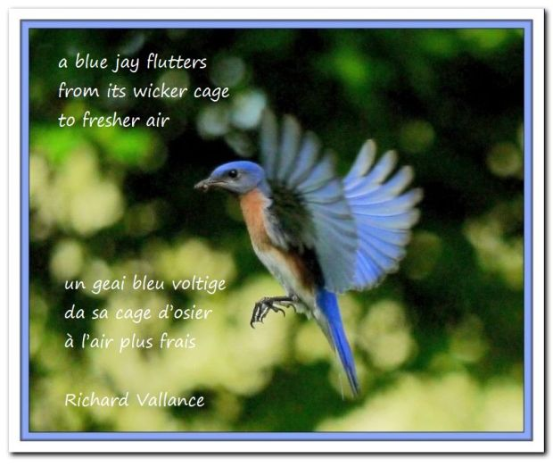 blue jay haiku 620