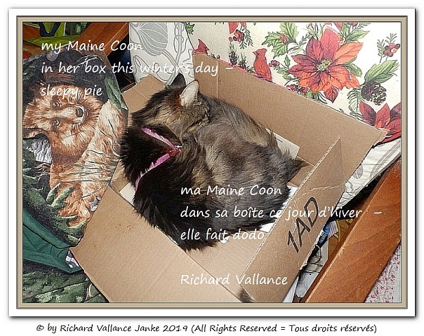 my maine coon in a box haiku 620