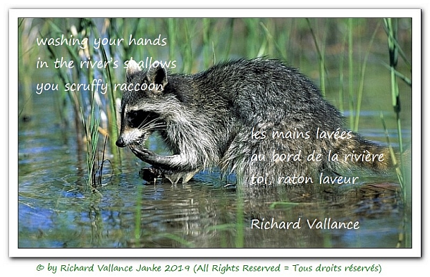 raccoon haiku 620