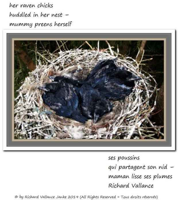 raven chicks620