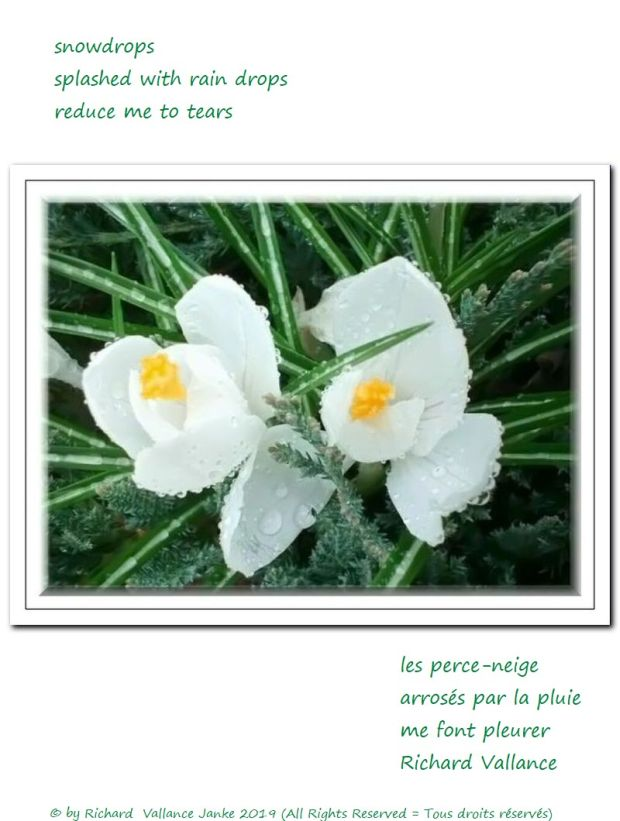 snowdrops haiku 620