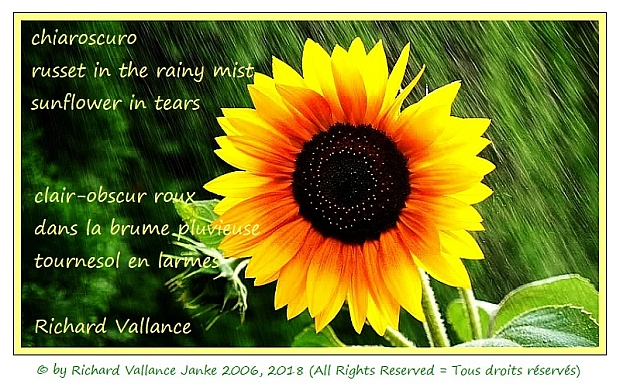 sunflower in the rainfall haiku 620