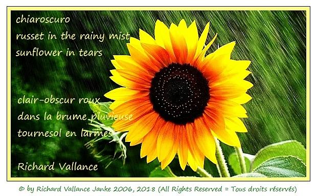 sunflower in the rainfall haiku 620