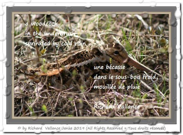 woodcock in the underbrush haiku 620
