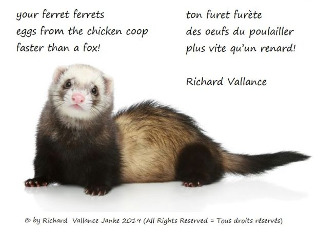your ferret haiku 620