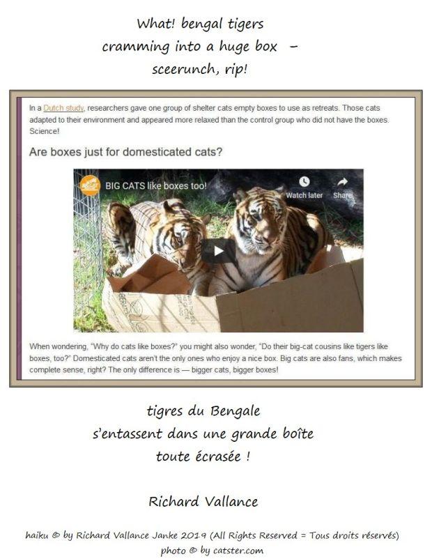 bengal tigers haiku 620