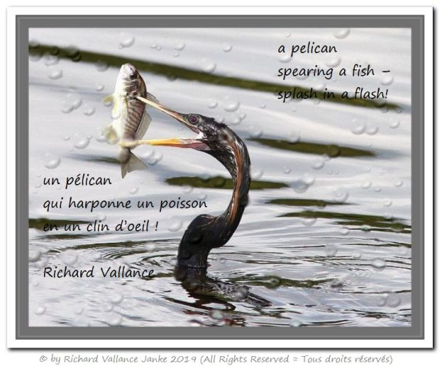 pelican spearing a fish 620