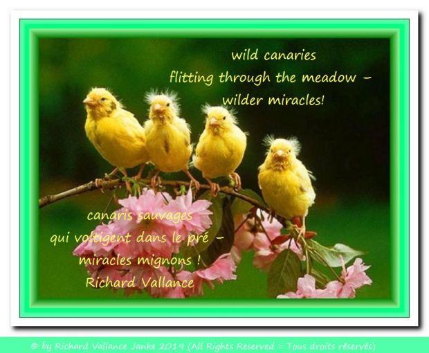 wild canaries haiku 620