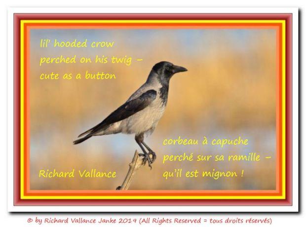 hooded crow Nebelkrähe_Corvus_cornix 620