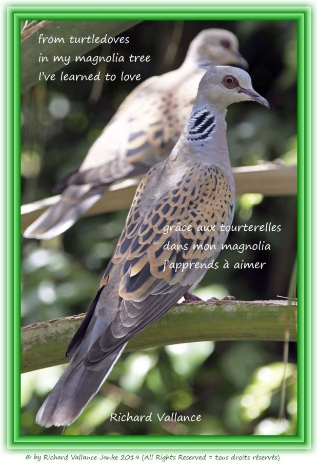 turtledoves haiku 620