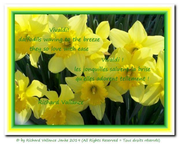 Vivaldi daffodils 620