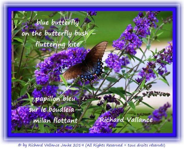 blue butterfly 620
