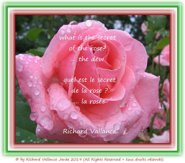 dew on a rose 620