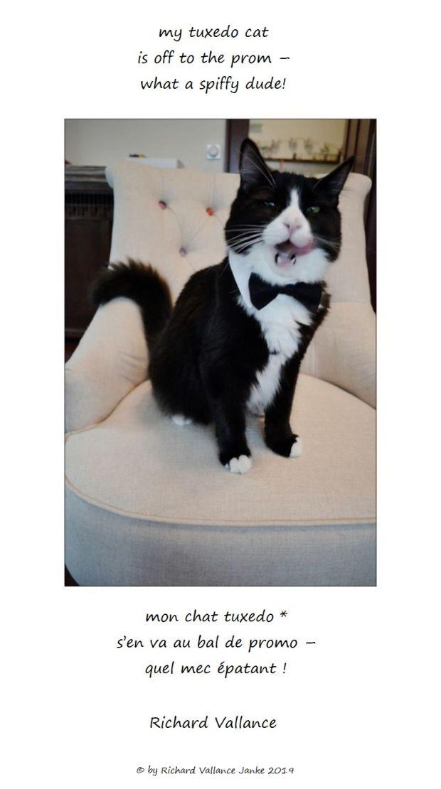 my tuxedo cat 620