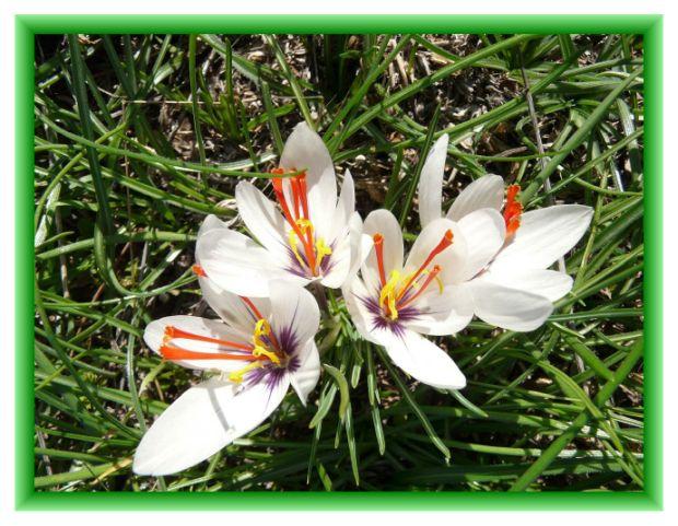 saffron-01