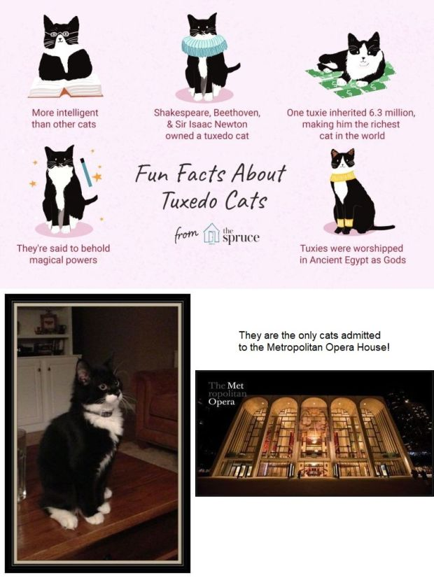 facts-about-tuxedo-cats 620