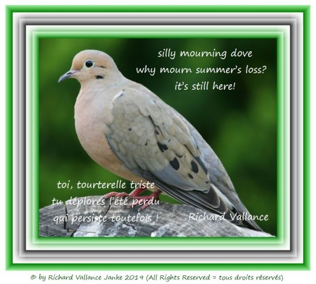 mourning dove 620